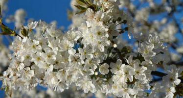 Petale de cireș