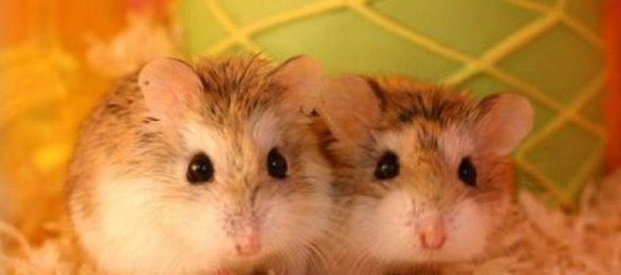 Ce hrana oferiti hamsterului dvs?